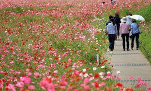 くりはま花の国『青い花まつり』