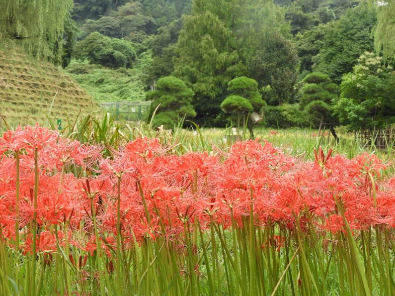 ちいさな横須賀の秋 里山の彼岸花