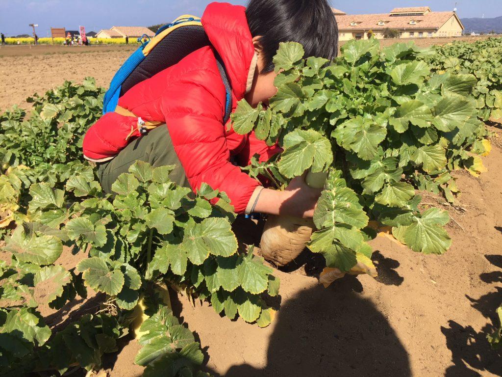 大根の収穫中