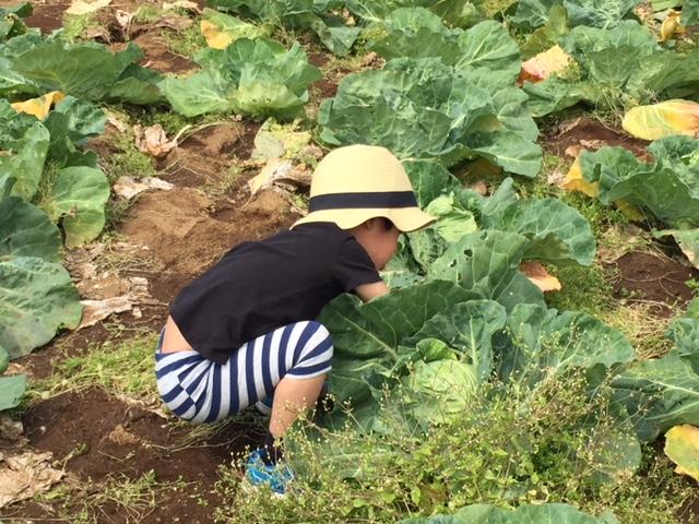 キャベツの収穫中
